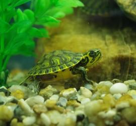 Żółwie ozdobne