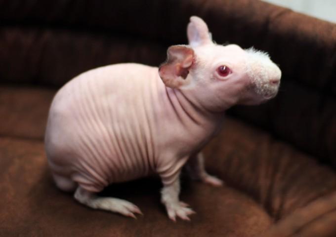 Świnka Skinny