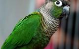Rudosterka Zielonolica
