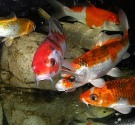 Karp koi - ryba do oczek wodnych